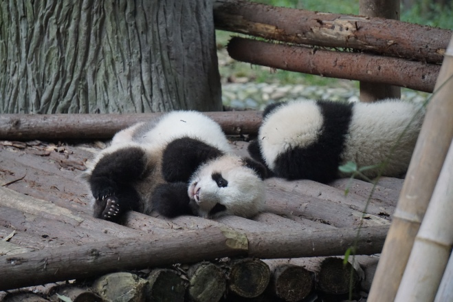 Baby pandas 2